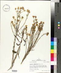 Chrysopsis graminifolia image