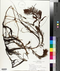 Armoracia aquatica image