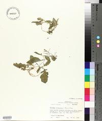 Rorippa heterophylla image