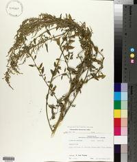 Chenopodium album var. missouriense image