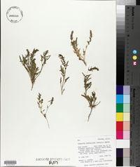 Chenopodium berlandieri var. boscianum image