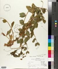 Pisum sativum image