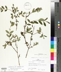 Image of Hypericum frondosum