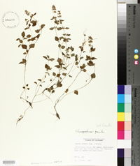 Clinopodium gracile image