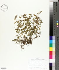 Clinopodium gracile image