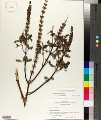 Ocimum basilicum image