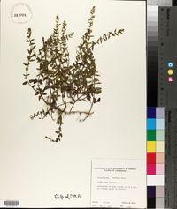Scutellaria racemosa image