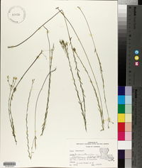 Linum floridanum var. floridanum image