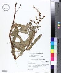 Rumex chrysocarpus image