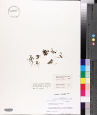 Houstonia rosea image