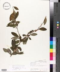 Bumelia oblongifolia image