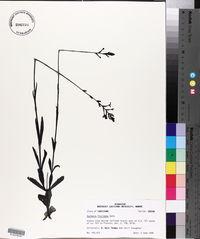 Buchnera floridana image
