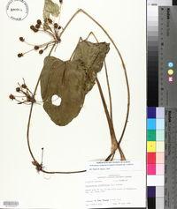 Echinodorus cordifolius image
