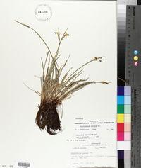 Sisyrinchium albidum image