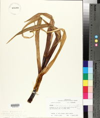 Allium ampeloprasum image