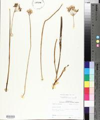 Nothoscordum fragrans image
