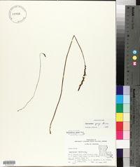 Spiranthes grayi image