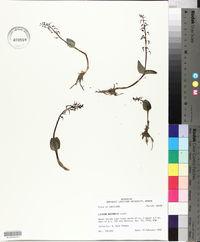 Listera australis image