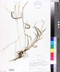 Digitaria ciliaris image