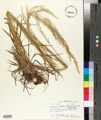 Sphenopholis longiflora image