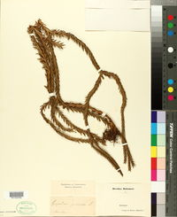 Image of Lycopodium gnidioides