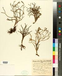 Image of Lycopodium polytrichoides