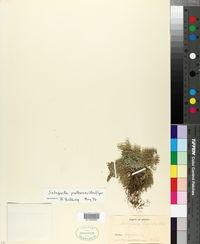 Selaginella pallescens image
