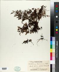 Image of Trichomanes bauerianum