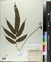 Abacopteris presliana image