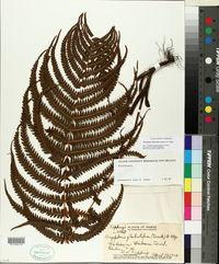 Thelypteris globulifera image