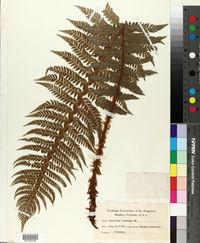 Polystichum aculeatum image
