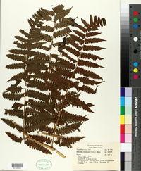 Image of Athyrium expansum