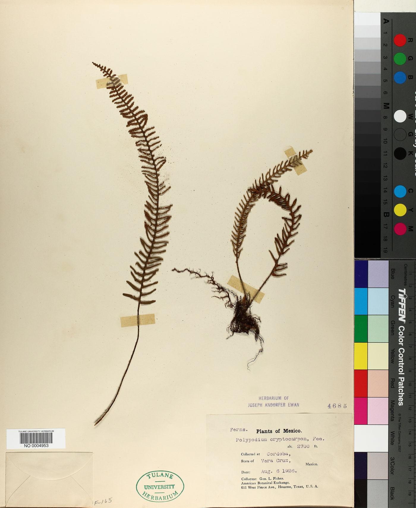 Polypodium cryptocarpon image