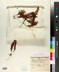 Adenophorus pinnatifidus image