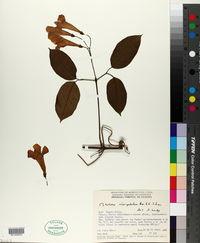 Image of Bignonia sciuripabula