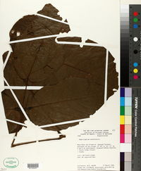 Image of Amphilophium aschersonii