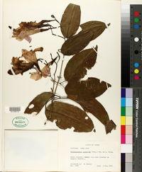 Image of Bignonia corymbosa