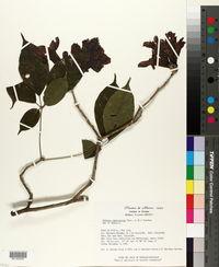 Handroanthus impetiginosus image