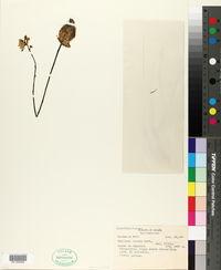 Image of Genlisea aurea