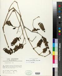 Blechum pyramidatum image