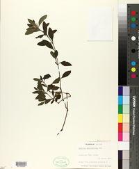 Image of Ruellia geminiflora