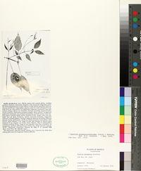 Image of Ruellia pereducta