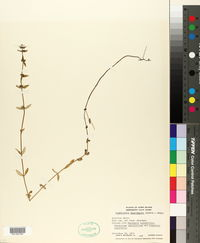 Image of Oldenlandia fasciculata