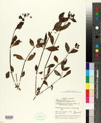 Image of Oldenlandia biflora