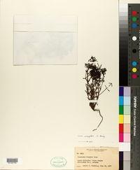 Houstonia wrightii image