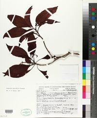 Cosmocalyx spectabilis image