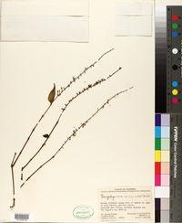 Image of Gonzalagunia cornifolia