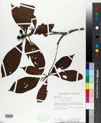 Image of Amaioua pedicellata