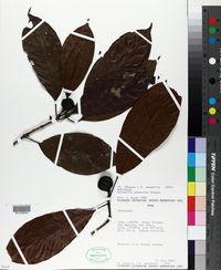 Alibertia bertierifolia image