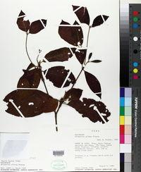 Image of Alibertia pilosa